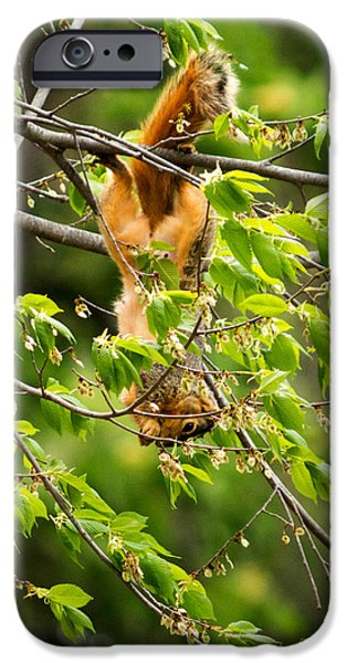 West Fork iPhone Cases - A Squirrely Day iPhone Case by Howard Tenke