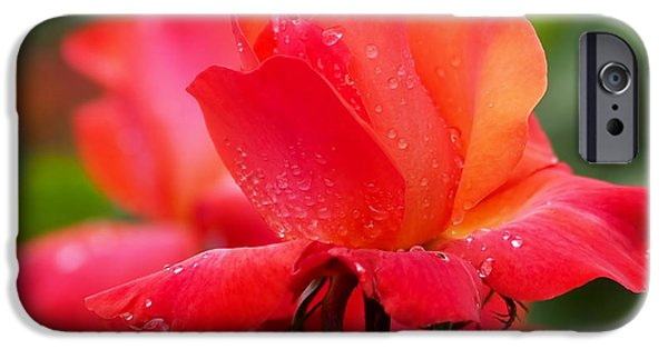 Botanical Photographs iPhone Cases - A Tintinara Rose in the Rain iPhone Case by Rona Black