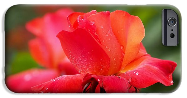 Rose iPhone Cases - A Tintinara Rose in the Rain iPhone Case by Rona Black