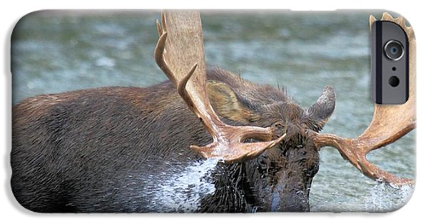Moose In Water iPhone Cases - A Wet Rack iPhone Case by Adam Jewell