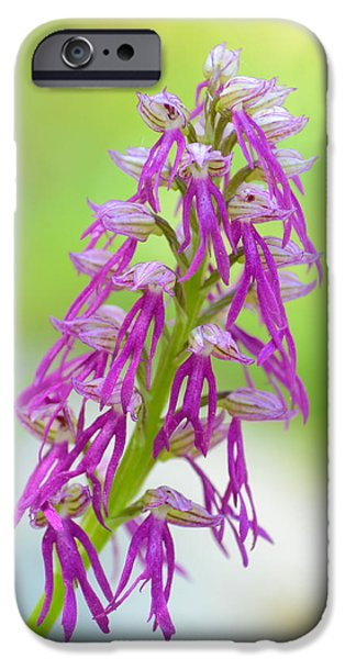 Garden Ceramics iPhone Cases - Aceras anthropophora x Orchis italica iPhone Case by Orazio Puccio