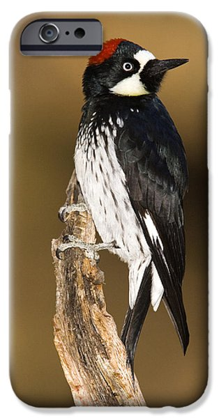 Recently Sold -  - Fauna iPhone Cases - Acorn Woodpecker Female Arizona iPhone Case by Tom Vezo