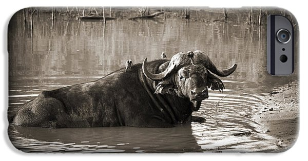Bathing iPhone Cases - African buffalo iPhone Case by Delphimages Photo Creations