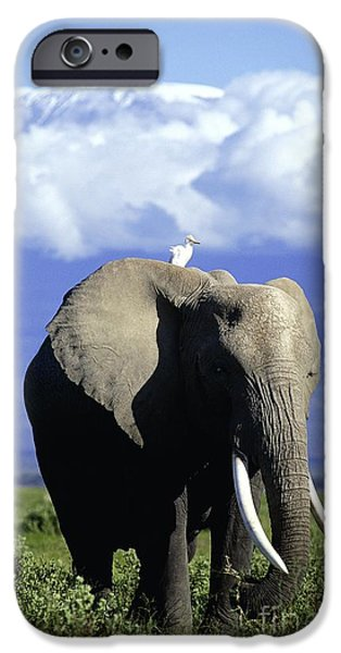 Cattle Egret iPhone Cases - African Elephant iPhone Case by Daryl Balfour