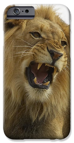 Growling iPhone Cases - African Lion Male Growling iPhone Case by San Diego Zoo