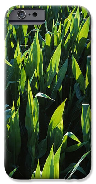 Sweet Corn iPhone Cases - Agriculture - Rows Of Backlit Mid iPhone Case by Randy Vaughn-Dotta