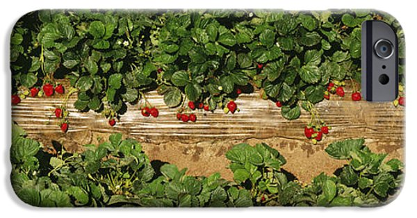 Berry iPhone Cases - Agriculture - Rows Of Strawberry Plants iPhone Case by Timothy Hearsum