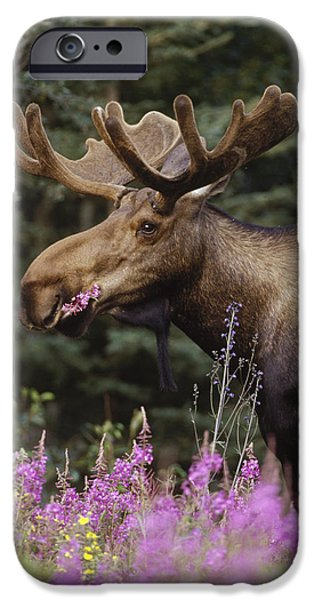 Recently Sold -  - Floral Photographs iPhone Cases - Alaska Moose Feeding On Fireweed Alaska iPhone Case by Michael Quinton