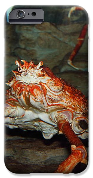 Alaskan King Crab 5D24125 iPhone Case by Wingsdomain Art and Photography