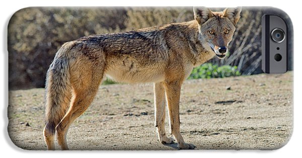 Recently Sold -  - Fauna iPhone Cases - Alert Coyote iPhone Case by Anthony Mercieca