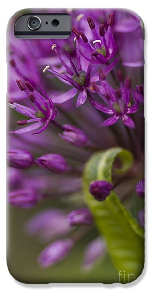 Allium Hollandicum iPhone Cases - Allium Curl iPhone Case by Anne Gilbert