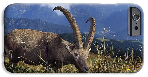 Swiss Horn iPhone Cases - Alpin Ibex Male Grazing iPhone Case by Konrad Wothe