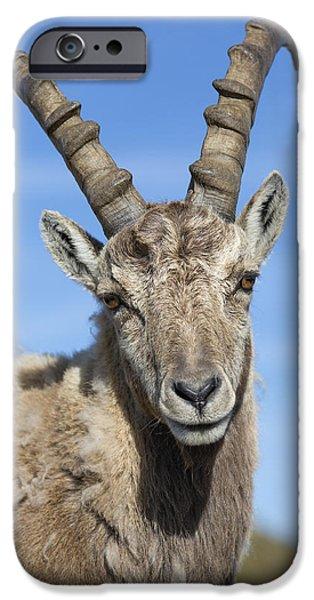 Swiss Horn iPhone Cases - Alpine Ibex  In The Swiss Alps iPhone Case by Bernd Rohrschneider