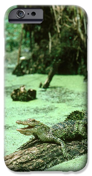 Reptiles iPhone Cases - American Alligator iPhone Case by Gregory G. Dimijian, M.D.