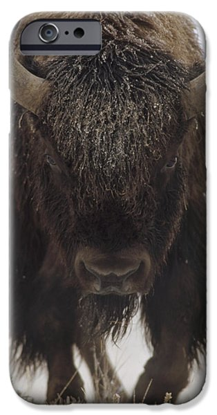 American Bison iPhone Cases - American Bison Portrait iPhone Case by Tim Fitzharris