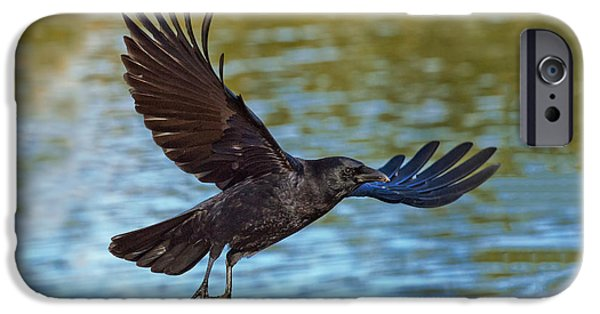Us Wildllife iPhone Cases - American Crow Flying Over Water iPhone Case by Anthony Mercieca