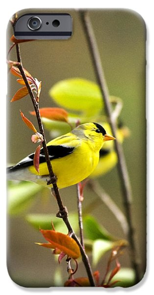 Rollo Digital Art iPhone Cases - American Goldfinch-2 iPhone Case by Christina Rollo