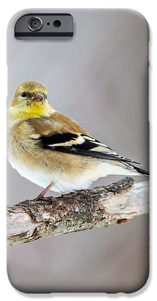 Finch iPhone Cases - American Goldfinch Winter Plumage iPhone Case by Bill Wakeley