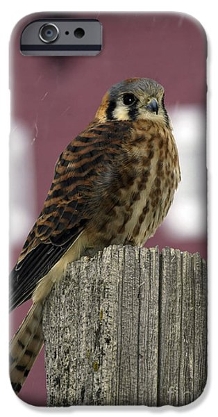 Animals Photographs iPhone Cases - American Kestrel iPhone Case by Wildlife Fine Art