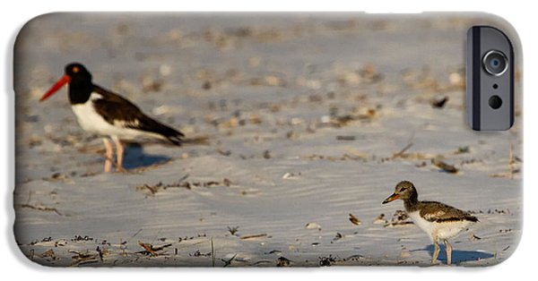 States iPhone Cases - American Oystercatcher Mother and Chick iPhone Case by Dawna  Moore Photography