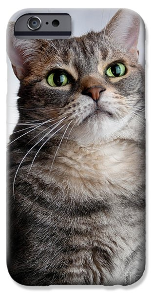 American Shorthair iPhone Cases - American Shorthair Portrait iPhone Case by Amy Cicconi