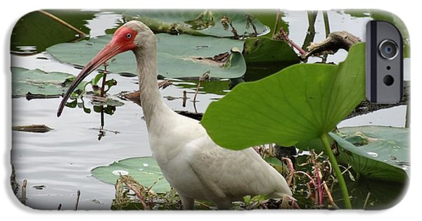 Ibis iPhone Cases - American White Ibis In Brazos Bend iPhone Case by Dan Sproul