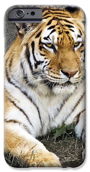 Zoo iPhone Cases - Amur Tiger iPhone Case by Adam Romanowicz