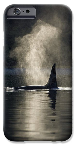 Inside Passage iPhone Cases - An Orca Whale Exhales Blows iPhone Case by John Hyde
