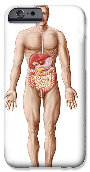 Anatomy Of Human Digestive System, Male iPhone Case by Stocktrek Images