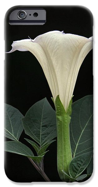 Angel's Trumpet Datura iPhone Case by Angie Vogel