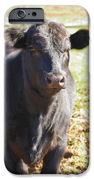Overo iPhone Cases - Angus Heifer iPhone Case by Thea Wolff