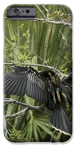 Anhinga iPhone Cases - Anhinga Papa iPhone Case by Phill  Doherty