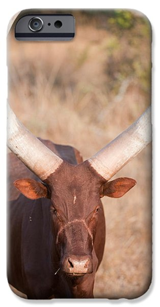 Queen Elizabeth iPhone Cases - Ankole-watusi Cattle Standing iPhone Case by Panoramic Images