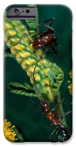 Ant iPhone Cases - Ant-caterpillar-plant Mutualism iPhone Case by Gregory G. Dimijian, M.D.