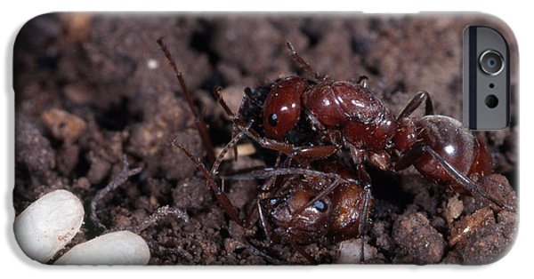 Ant iPhone Cases - Ant Queen Fight iPhone Case by Gregory G. Dimijian, M.D.
