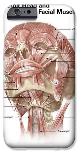 Muscular Digital iPhone Cases - Anterior Neck And Facial Muscles iPhone Case by Alan Gesek
