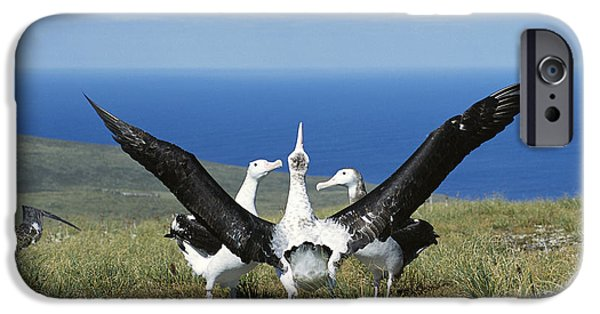 Wildlife Celebration iPhone Cases - Antipodean Albatross Courtship Display iPhone Case by Tui De Roy