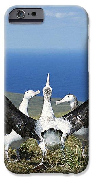 Antipodean Albatross Courtship Display iPhone Case by Tui De Roy