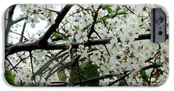 Arkansas iPhone Cases - Apple Blossom Branch iPhone Case by Gail Matthews