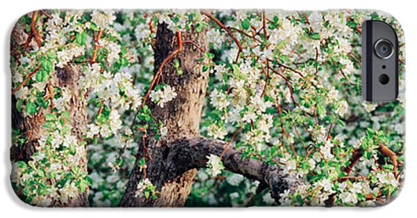 Apple Orchard iPhone Cases - Apple Blossom Flowers, Quebec, Canada iPhone Case by Panoramic Images