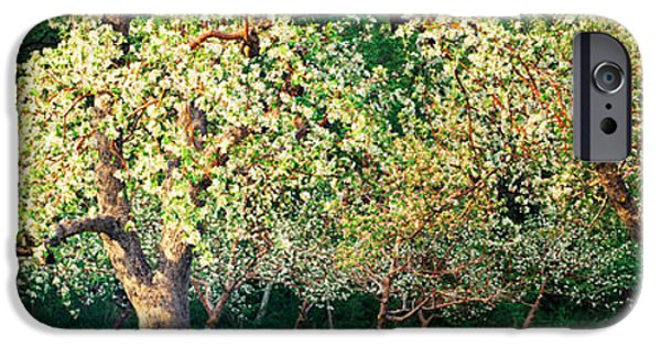 Apple Orchard iPhone Cases - Apple Orchard, Quebec, Canada iPhone Case by Panoramic Images