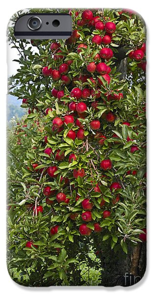 Apple Orchard iPhone Cases - Apple Tree iPhone Case by Anthony Sacco