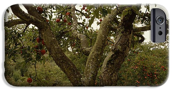 Apple Orchard iPhone Cases - Apple Trees In An Orchard, Sebastopol iPhone Case by Panoramic Images