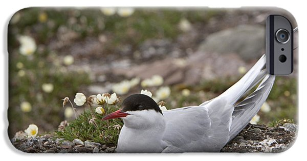 Sea Birds iPhone Cases - Arctic Tern In Its Nest iPhone Case by John Shaw