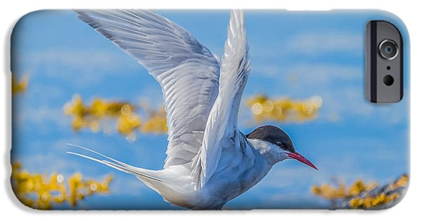 Sea Birds iPhone Cases - Arctic Tern Sterna Paradisaea, Flatey iPhone Case by Panoramic Images