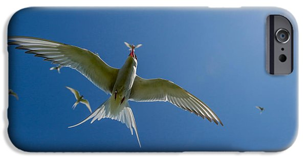 Seabird iPhone Cases - Arctic Terns Sterna Paradisaea, Flatey iPhone Case by Panoramic Images