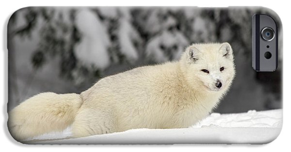 Lilachw iPhone Cases - Arctic Wolf Canis lupus arctos iPhone Case by Lilach Weiss