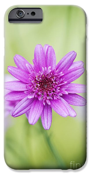 Anther iPhone Cases - Argyranthemum Madeira Crested Pink Daisy iPhone Case by Tim Gainey
