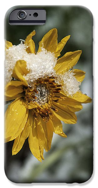 Harsh Conditions iPhone Cases - Arrowleaf Balsamroot in Snow iPhone Case by Wildlife Fine Art