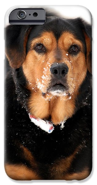 Mixed Labrador Retriever iPhone Cases - Attentive Labrador Dog iPhone Case by Christina Rollo